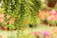 Kwiatów garnki wiesza w szklarni Fotografia Royalty Free