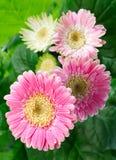 kwiatów gerbera menchie Zdjęcie Stock