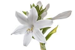Kwiatów gospodarzi, odosobneni na białym tle Zdjęcia Stock