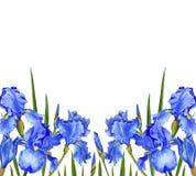 Kwiatów irysów akwareli wiosny Botanicznego projekta kartki z pozdrowieniami zaproszenia ilustracyjna dekoracja ilustracji