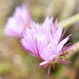 kwiatów kaktusów różowy Obrazy Royalty Free