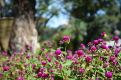 Kwiatów kolory Purpurowi Fotografia Royalty Free
