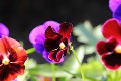 kwiatów kultywujący pansies Fotografia Royalty Free