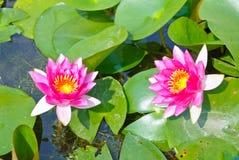 kwiatów kwitnący lotosy różowią dwa Obrazy Stock