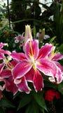 kwiatów lelui menchie Fotografia Royalty Free