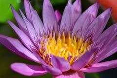 kwiatów lelui woda Zdjęcie Royalty Free