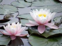 kwiatów leluj woda Zdjęcia Stock