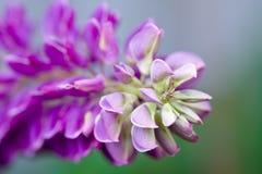 kwiatów lile lupines menchie Obraz Stock
