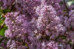 Kwiatów lili bzy wśród zielonych liści i inny rozmyci, Obrazy Royalty Free