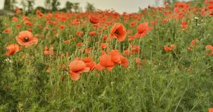 Kwiatów maczków Czerwony okwitnięcie na dzikim polu Zdjęcia Stock
