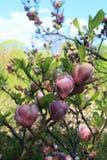 kwiatów magnolii menchie fotografia stock