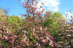 kwiatów magnolii menchie Obraz Stock