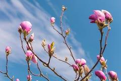 kwiatów magnolii menchie Kwitnący magnoliowy drzewo w wiośnie przeciw niebieskiemu niebu Zdjęcia Royalty Free