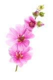 kwiatów malva menchie Fotografia Stock