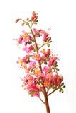 kwiatów menchii kolec Obrazy Royalty Free