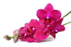 kwiatów orchidei menchii biel Fotografia Royalty Free