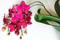 kwiatów orchidei menchii biel Obraz Royalty Free