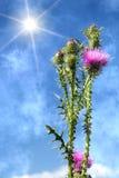 kwiatów płatków czerwona słońca świrzepa Obraz Royalty Free