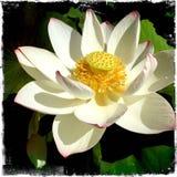 kwiatów płatki pełni lotosowi Zdjęcie Royalty Free