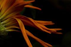 Kwiatów płatki Fotografia Royalty Free