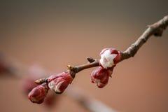 Kwiatów pączki morela Fotografia Royalty Free