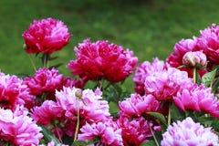 kwiatów peoni menchie Zdjęcie Stock