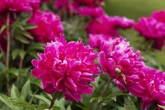kwiatów peoni menchie Fotografia Stock