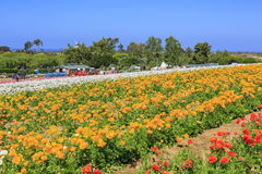 Kwiatów pola Zdjęcie Royalty Free
