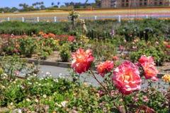 Kwiatów pola Fotografia Royalty Free