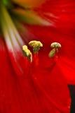 Kwiatów pollens Obrazy Royalty Free