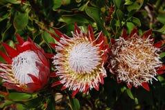 Kwiatów Proteas Obraz Royalty Free