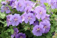 kwiatów purpur deszcz Zdjęcia Royalty Free
