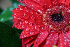 Kwiat?w raindrops regendruppel czerwony bloem obraz stock