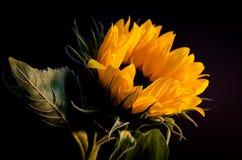 3 kwiatów słońce Obrazy Royalty Free