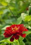 kwiatów tagetes Zdjęcia Royalty Free