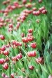 Kwiatów tulipanów tło Piękny widok kolorów tulipanów pole Zdjęcia Stock