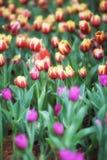 Kwiatów tulipanów tło Piękny widok kolorów tulipanów pole Zdjęcie Royalty Free