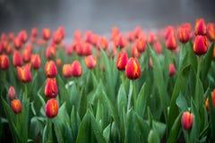 Kwiatów tulipanów tło Piękny widok kolorów tulipany Zdjęcie Stock