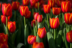 Kwiatów tulipanów tło Piękny widok kolorów tulipany Zdjęcie Royalty Free