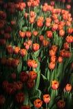 Kwiatów tulipanów tło Piękny widok kolorów tulipany Fotografia Stock