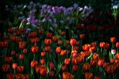 Kwiatów tulipanów tło Piękny widok kolorów tulipany Zdjęcia Royalty Free