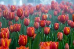 Kwiatów tulipanów tło Piękny widok kolorów tulipany Obrazy Royalty Free