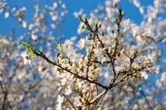 kwiatów wiosna drzewo Obrazy Stock