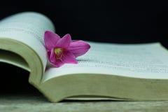 kwiatów zephyranthes menchie na czarnym tle A jaskrawym - zielony sta Fotografia Royalty Free