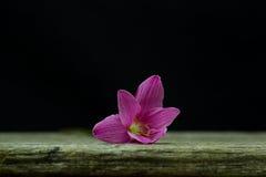 kwiatów zephyranthes menchie na czarnym tle A jaskrawym - zielony sta Zdjęcia Stock