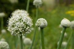 Kwiatów ziarna czosnek w zielonym lecie uprawiają ogródek obrazy stock