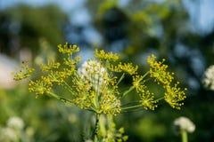 Kwiatów ziarna czosnek w zielonym lecie uprawiają ogródek fotografia stock