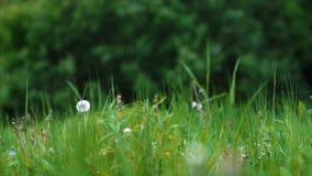 Kwiatów, zieleni i koloru żółtego mosiądz, zdjęcie wideo