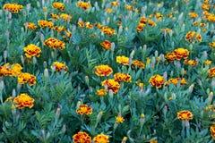 Kwiat łąka Zdjęcie Royalty Free
