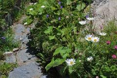 Kwiat łąki na Grossglockner Zdjęcia Royalty Free